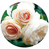 White Eden Climbing Rose Bush Reblooming White Hardy Climber Plant Grown Organic 4' Potted - Easy To Grow Own Root