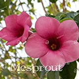 Allamanda violacea Seeds Seeds Petals flower Seeds Bonsai For Flower 100 Seeds 2 #32680021841ST