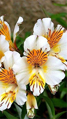 ChinaMarket 100pcs/bag Alstroemeria seeds White-Yellow Peruvian Lily Alstroemeria - seeds planta (Peruvian Lily)