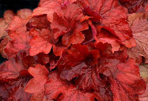 (Fire Alarm Heuchera - Coral Bells - Gallon Pot - Shade Lover)