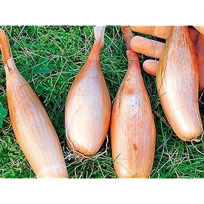 Onion Seeds Shallot Vegetable Organic Ukraine 0.25 Gram : Garden & Outdoor