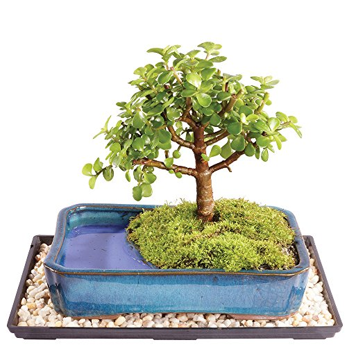 Brussel's Dwarf Jade Bonsai in Water Pot - Medium (Indoor) with Humidity Tray & Deco Rock by Brussel's Bonsai