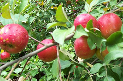 Sweet 16 Apple Tree - Healthy - Established - One Gallon Pot - 1 Each by Growers Solution