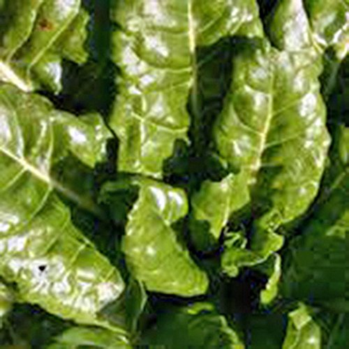 Swiss Chard, Perpetual Spinach Heirloom, Organic 25+ seeds, Non Gmo