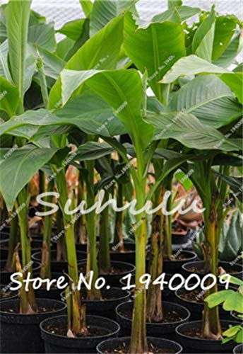 (Seeds 50 pcs Dwarf Banana Tree, Indoor Tropical Fruit Tree, Seeds Balcony Flower for Home Planting, Germination Rate of 95% : p )