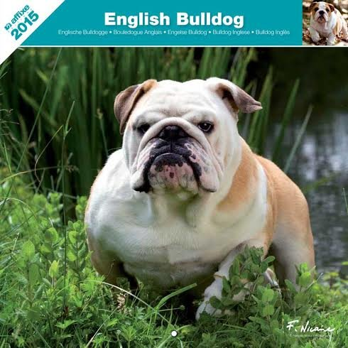 english bulldog 2015 calendar - 8
