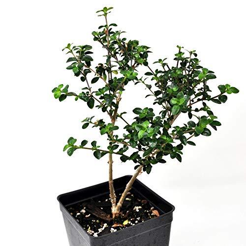 Serissa Flore pleno Dbl. White, Snow Rose, Starter Bonsai ()