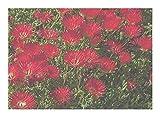 Drosanthemum speciosum - Red ice-Plant - 10 Seeds