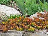 SEDUM REFLEXUM 'ANGELINA' - PLANT