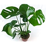 Swiss Cheese Plant (Monstera deliciosa) in 14cm pot. 40-50cm tall approx.
