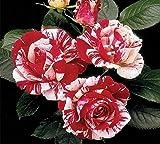 Scentimental Floribunda Rose - Live Plant - Quart Pot