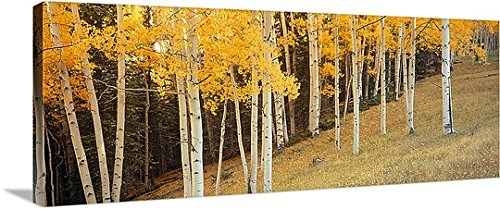 Aspen Grove Ouray Co Gallery-Wrapped Canvas