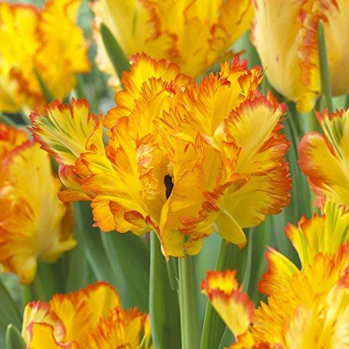- SILKSART 8 Nice Bulbs! Tulip Bulbs early bloom Perennial Bulbs for Garden Planting Beautiful Flower Tulips Caribbean Parrot Set of 8 Bulbs