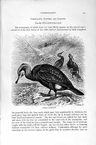 Impresión Antigua de los Pájaros Comunes del Cormorán de la Historia Natural 1895