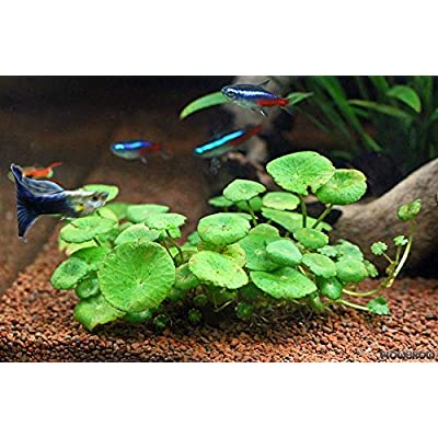 Pennywort ~{Hydrocotyle umbellata}~ 6 Plants : Garden & Outdoor