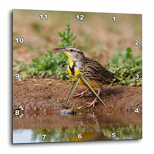 3dRose Danita Delimont - Songbirds - Eastern Meadowlark, Sturnella magna, drinking - 15x15 Wall Clock (dpp_279464_3) - Meadowlark Three Light