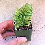 """Crassula Red Pagoda Capitella Shark Tooth Succulent 2"""" + Clay Pot"""