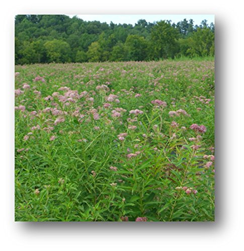 monarch-milkweed-seed-mix-for-northern-states-100-certified-pure-live-seed