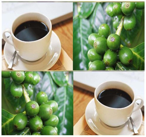 Coffea Arabica Seed - COFFEE BEAN SHRUB SEEDS ~ BEST COFFEE - Brew Your Own CUP OF JAVA - By MySeeds.Co (0100 Seeds - 100 Seeds)