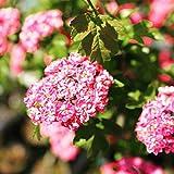八重紅花サンザシ(メイフラワー)ポット苗 庭木 低木