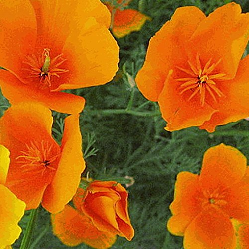 California Poppy Seed Paper (Everwilde Farms - 1000 Orange California Poppy Native Wildflower Seeds - Gold Vault Jumbo Seed Packet)