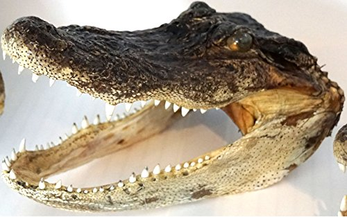 Real Genuine American Alligator Head - 5.5 inches - 6.5 inches (6.5 (Cool Swamp Gator)