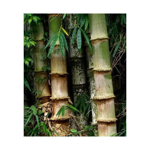 80%OFF Dedrocalamus Asper - Giant Bamboo 6-12' tall potted