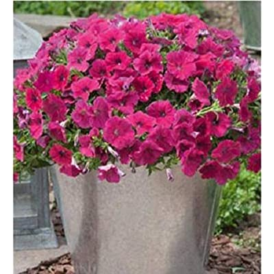 Organic 100 Bulk Petunia Seeds Success Rose Petunia Seed Seeds : Garden & Outdoor