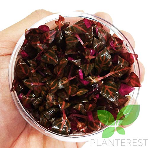 - Alternanthera Reineckii Rosanervig Red Tissue Culture Cup Freshwater Live Aquarium Plants Decoration BUY2GET1FREE