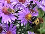 Fall Blooming Purple Dome Aster Plant-Live Plant-Bee Attracting-Butterfly Attracting-I Gallon