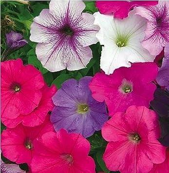 Amazon com : SD1226 Mixed Color Petunia Seeds, Morning Glory Seeds