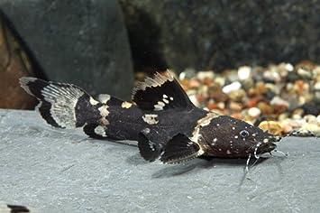 Bumble catfish