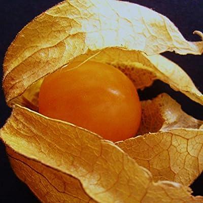 CAPE GOOSEBERRY - 60 Seeds