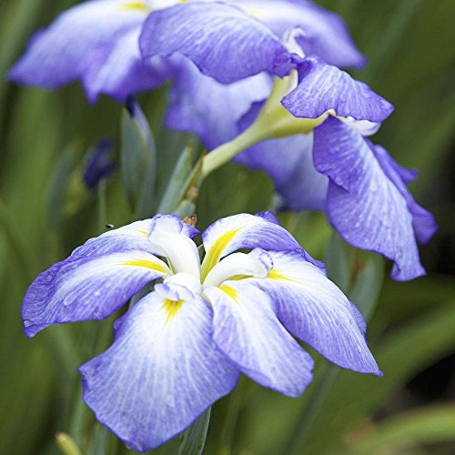 Japanese Iris - 4