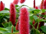 "Chenille Firetail Plant - Cat Tails Plant - Acalypha pendula -Indoors/Out-6"" Pot"