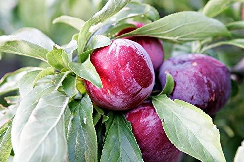 2 Heritage Dwarf RED Plum Trees 18-24 INCH Flowering Fruit Trees Live Plants ()