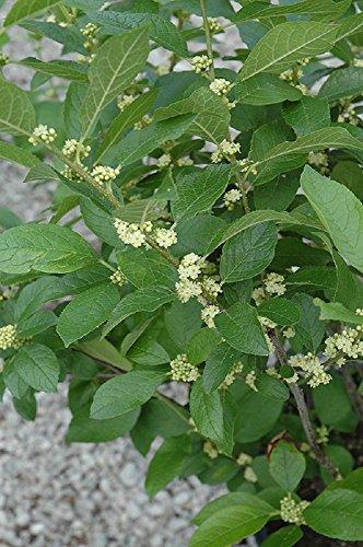 - Southern Gentleman Winterberry Holly - Ilex - Hardy - 4