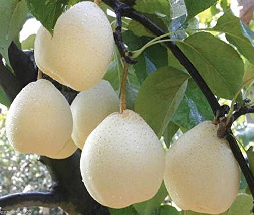 8 Asian Pear Chinese White Sand Pear  Pyrus Pyrifolia Live Tree Seeds
