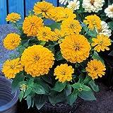 Zinnia Dreamland Yellow Seeds - Flower Seeds Package - 250 Seeds