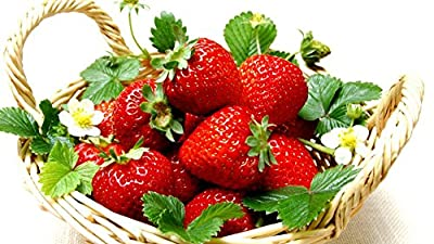 Everbearing Ozark Beauty Strawberry Plants 20 Bare Root Plants - TOP PRODUCER