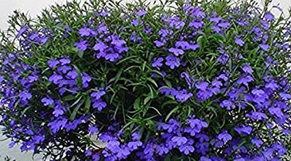Amazoncom Lobelia Riviera Midnight Blue Live Plants Starters