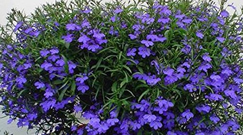 LOBELIA RIVIERA MIDNIGHT BLUE - LIVE PLANTS - STARTERS - LARGER PLUGS