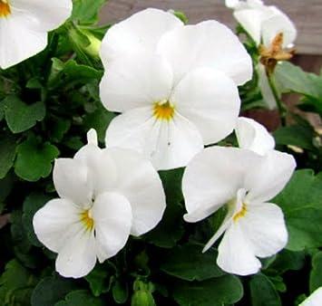 Amazon 50 seeds of white pansy seeds white viola seeds white 50 seeds of white pansy seeds white viola seeds white pansies mightylinksfo