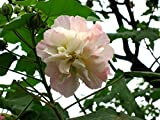 CONFEDERATE COTTON Rose Hibiscus Mutablis Plant Shrub Flowers Pink Turns White Blooms Summer Fall Starter Size 4 Inch Pot Emerald Tm
