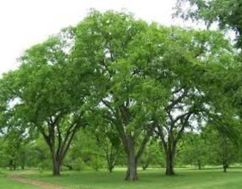 (American Elm Tree Variable Listing Hardy Perennial Shade Fast Growing (One 4-12