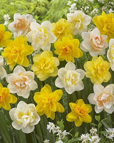 Bloomsz Double Daffodil Mix Flower Bulb (8-Pack) by Bloomsz