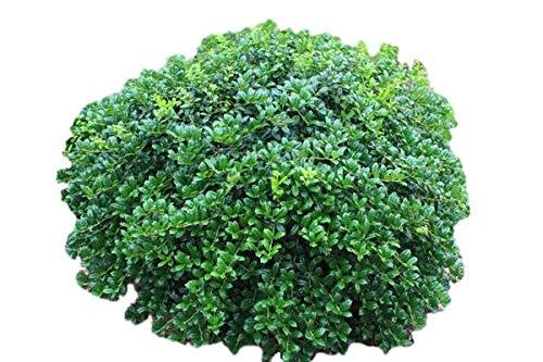 - Dwarf Burford Holly Shrub - Live Plant - Trade Gallon Pot