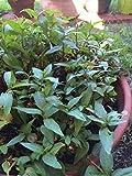Vietnamese Coriander (Rau Raum) Live Herb Plant