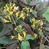 3 Madreselva Belgica (Lonicera) | compra 3 / paga 2 (para jardin, balcón y patio) – Maceta de 1.5 litro (Planta trepadora - Madreselva - 3 Plantas adulta) - Paredes y vallas,