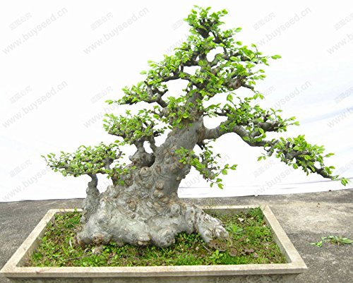 Tree Chinese Elm Bonsai (Hot Selling!!! Chinese Elm Bonsai (Ulmus parvifolia) Tree Seed Bonsai Seeds 30 pcs / 1 Professional Pack)